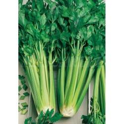 Semilla APIO verde pascal