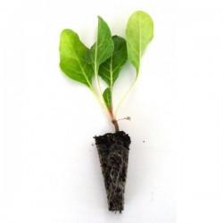 Planta ACELGA