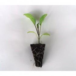 Planta BERENJENA bonica